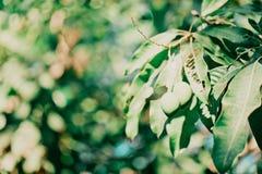Mangowy drzewo Obraz Stock