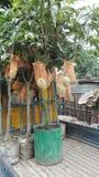 Mangowy drzewo Zdjęcia Royalty Free