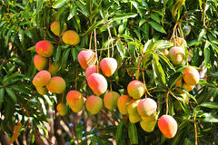 mangowy drzewo Zdjęcie Royalty Free