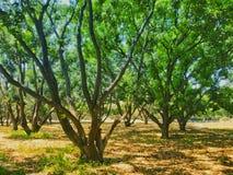 Mangowy drzewo obrazy stock