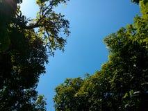 Mangowy drzewo i niebieskie niebo Zdjęcie Royalty Free