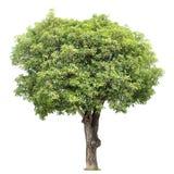 Mangowy drzewo Obraz Royalty Free
