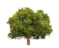 Mangowy drzewo (Mangifera indica) Fotografia Stock