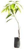 Mangowy drzewo w garnkach Zdjęcie Royalty Free