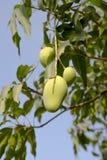 Mangowy drzewo z surowymi owoc Zdjęcia Stock