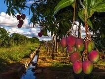 Mangowy flancowanie Obrazy Stock