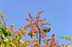 Mangowy kwiat Fotografia Royalty Free