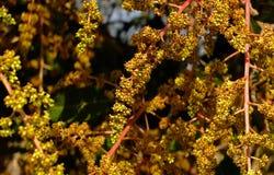 Mangowy kwiat Zdjęcia Stock