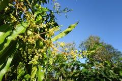 Mangowy kwiat na drzewie Zdjęcia Royalty Free