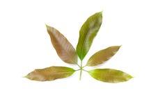 Mangowy liścia grzebień łagodny na białym tle obraz royalty free