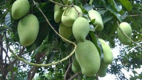 Mangowy obwieszenie na drzewie Fotografia Stock