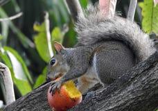 Mangowy złodziej Zdjęcia Stock