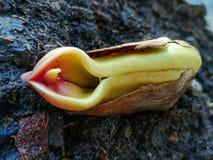 Mangozaden, bereid zijn die om worden geplant Het zaad groeit in ongeveer twee weken stock afbeelding
