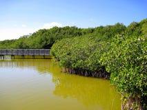Mangroove djungel i den Central America vildmarken Arkivbilder