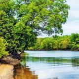 Mangroove flod i Thailand Royaltyfria Foton