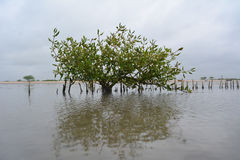 Mangroove tree in india. Mangroove tree in water in india Royalty Free Stock Photography
