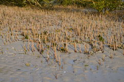 Mangrooves. The roots of mangrooves in india Royalty Free Stock Images