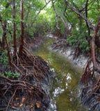 Mangrovar Arkivbild