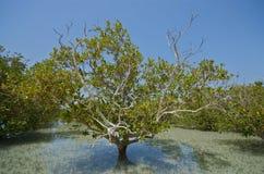 Mangrovar fotografering för bildbyråer