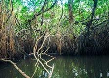 Mangrovar i den Bentota floden i Sri Lanka royaltyfri bild