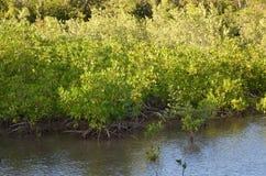 Mangrovar i Martinique fotografering för bildbyråer