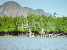 Mangrovar i Thailand Arkivfoton