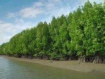 Mangrovar i Thailand Royaltyfri Fotografi