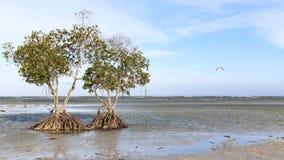 Mangrovar på en strand av Puerto Princesa, Palawan i Filippinerna Royaltyfria Bilder
