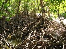 Mangrovar Queensland, Australien Arkivfoton