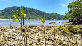 mangrovar som växer på, vaggar Fotografering för Bildbyråer