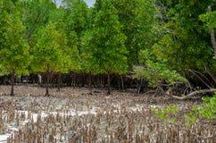 Mangrovars rhizomar Zanzibar, Tanzania, Februari 2019 royaltyfri bild
