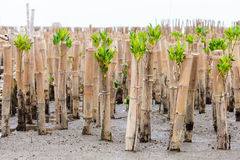 Mangroveåterbeskogning i kust av Thailand Royaltyfri Foto
