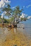 mangrove lizenzfreies stockfoto