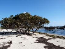 Mangrove. On a desert beach on French Island, Australia Royalty Free Stock Images