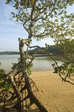 Mangrove. Tree along a beach in El Nido, Philippines, Asia Royalty Free Stock Photos