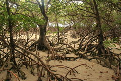 Mangrove. Landscape on an australian beach Royalty Free Stock Photos