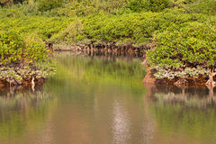Mangrove. Grow in Saline Coastal Stock Photo