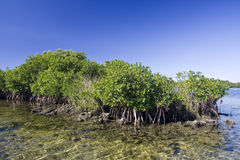 Mangrove. From St. Martins Marsh Aquatic Preserve Stock Photos