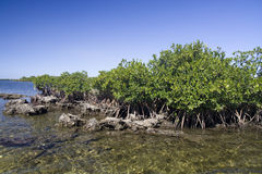Mangrove. From St. Martins Marsh Aquatic Preserve Royalty Free Stock Photos