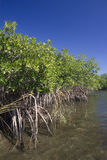 Mangrove Stockfotos