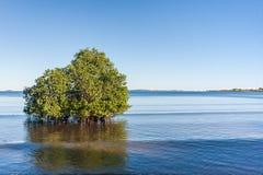 Mangrove royalty-vrije stock fotografie