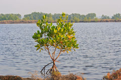 Mangrove Royalty Free Stock Images