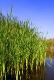 Mangrove Stockfoto