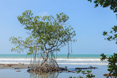 Mangrove Royalty Free Stock Photos