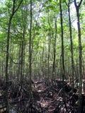Mangrove 5 Royalty Free Stock Image