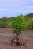 mangrove Fotografering för Bildbyråer