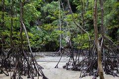 mangrove Fotos de Stock Royalty Free