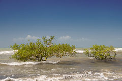 Mangrove. Young mangrove trees in the Australian Coral Sea royalty free stock image