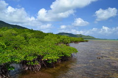 mangrove Fotos de Stock