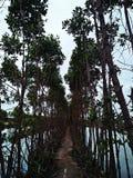 mangrove Foto de Stock